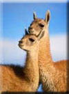 Click for more information on Llama Treks thru Ancient Redwoods.